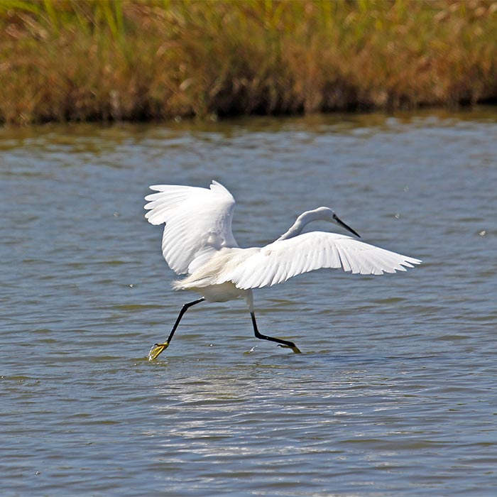 White Heron - Hassan bird guide Gambia