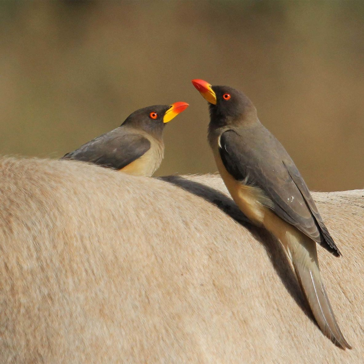 Yellow Billed Oxpecker - birdwatching in Gambia with Hassan
